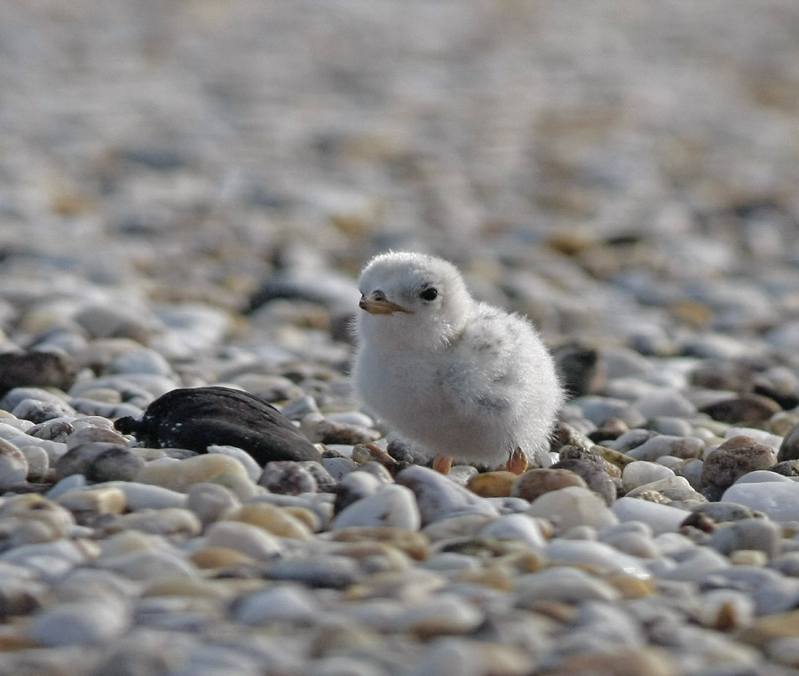 Least Tern chick at the beach