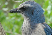 Scrub-Jay Photo Credit UF_IFAS