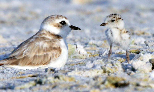 Snowey Plover and Chick on Siesta Beach